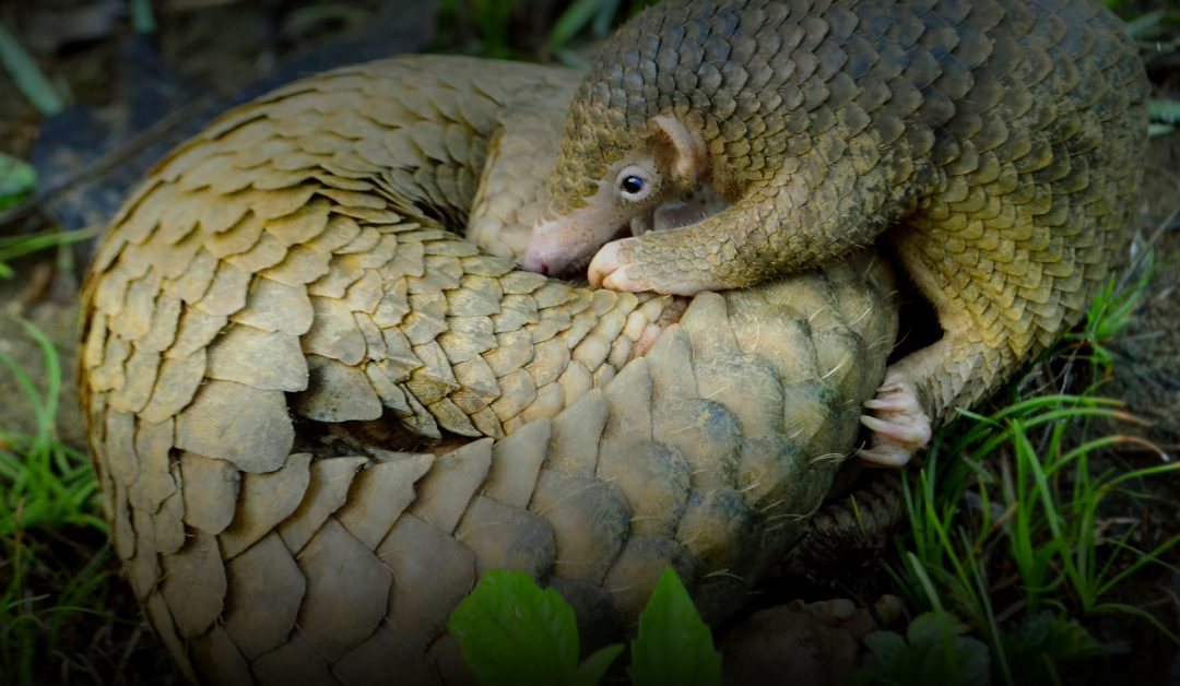 Scales tip in favour of pangolins as hosts of Coronavirus 'transition'