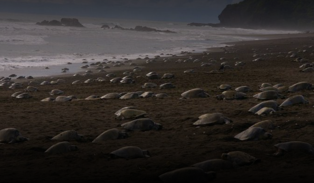 70,000 Endangered Sea Turtles Lay Eggs on Empty Beaches During Quarantine